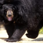 Viviane, an Asian black bear is back at home  in the African reserve of  Sigean on July 9, 2013 after 15 days of freedom when she escaped from her enclosure. The bear was not considered dangerous and was found at several kilometres  north of the reserve. AFP  PHOTO / RAYMOND ROIG / AFP PHOTO / RAYMOND ROIG